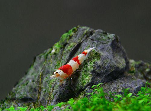 笃悠悠水晶虾坊 • 观赏鱼新手的一站式采购店铺