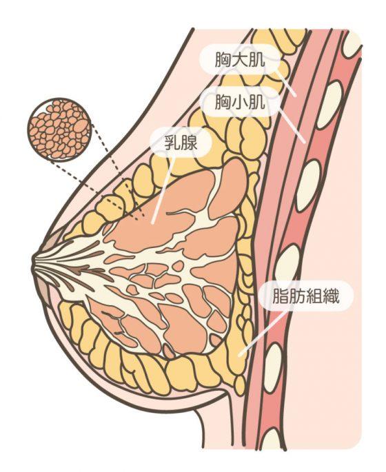 正常的乳房结构