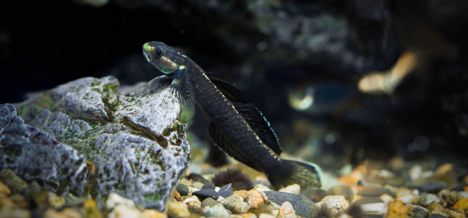 大洋洲枝桠虾虎